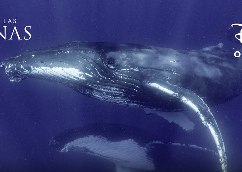 disney estrena los secretos de las ballenas los secretos de las ballenas james cameron disney